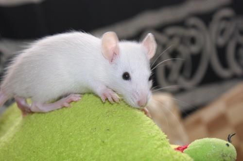 ratten na behandeling